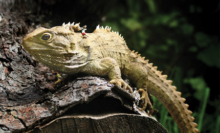 Leasing tuatara to the worlds zoos for conservation revenue (Image source: http://www.newzealandtrademanual.com/zealandia-the-karori-sanctuary-experience/)