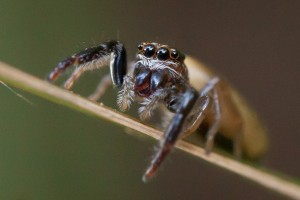 A female jumping spider (Salticidae), showing the large eyes typical of this spider family.