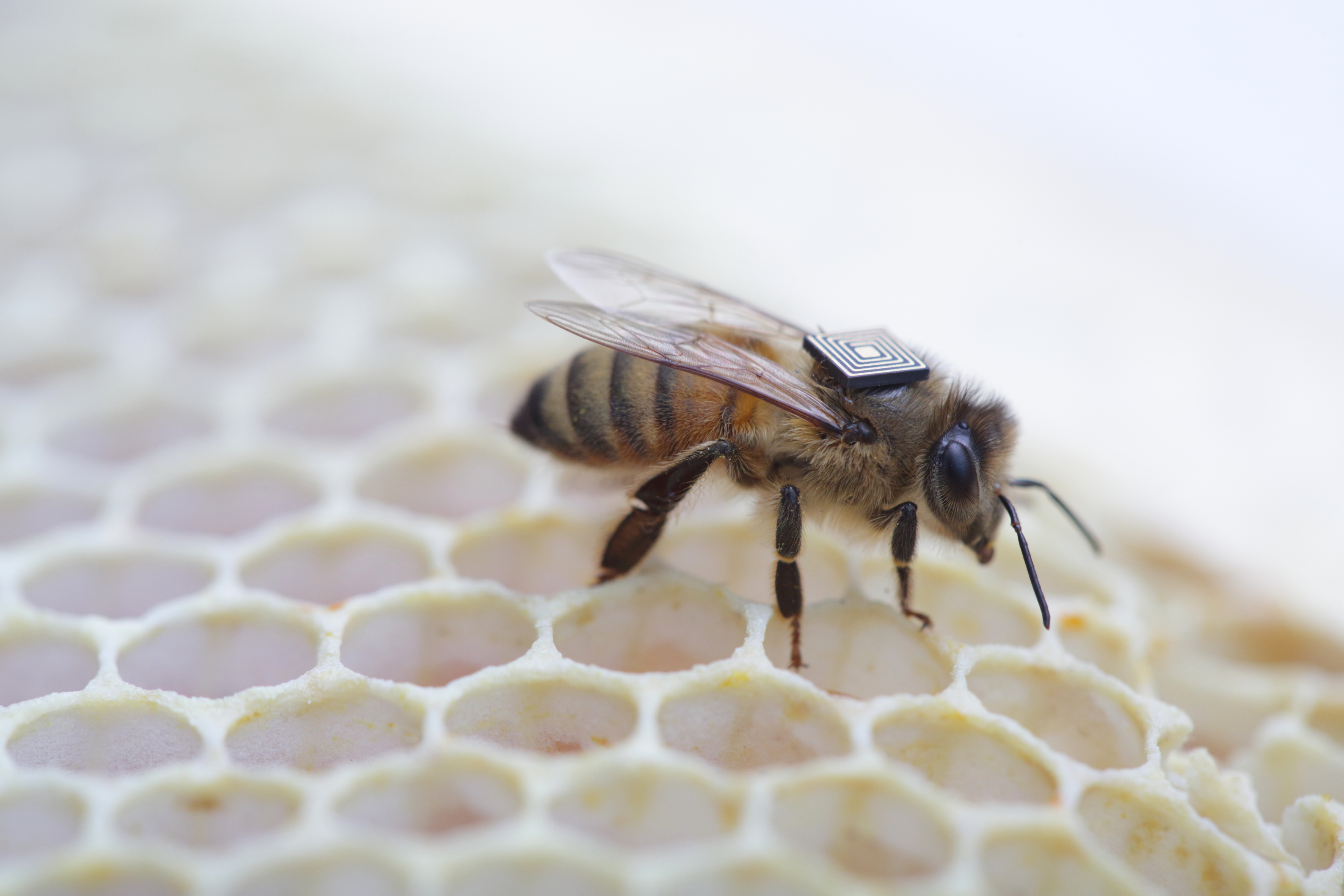 Featured image: Researchers worldwide team up to tackle the plight of honeybees