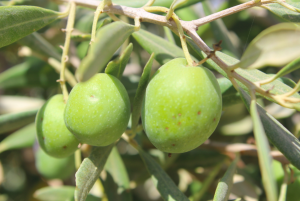 Olives: a staple crop but facing fierce competition from other producing nations.