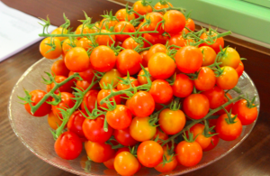 Israel's famed cherry tomatoes