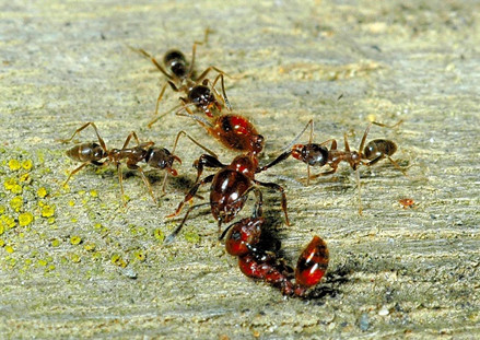 Three Argentine ants attacking a New Zealand native ant (centre). Credit: https://www.scimex.org