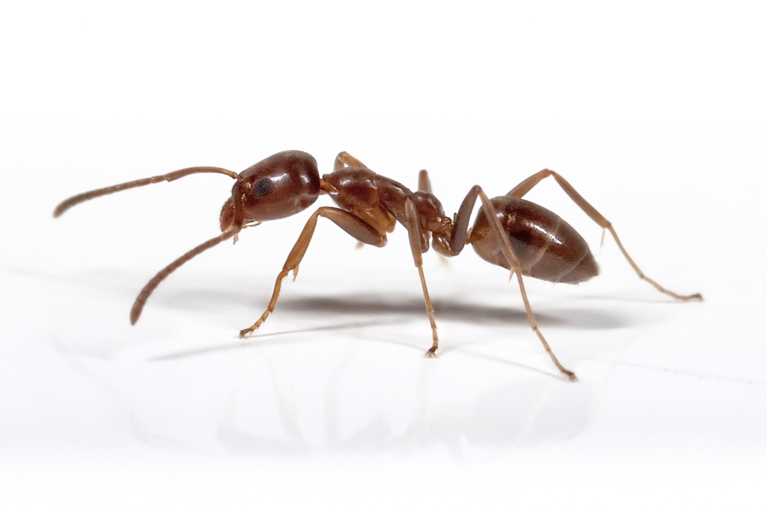 Featured image: Argentine ants harbour novel virus
