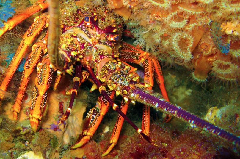 A crayfish (Jasus edwardsii) in a crevice surrounded by jewel anemones, taken during a dive survey at the Mokohinau Islands, northeastern New Zealand.