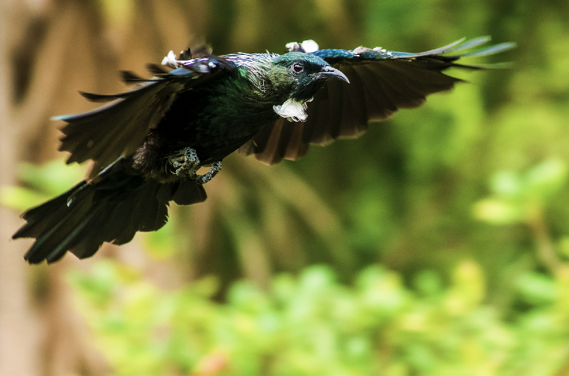 This tui was photographed on Tiritiri Matangi Island in the Hauraki Gulf. The judges described it as a great action shot, employing sharp detail and motion blur in the same image. ìIt has a lovely sharpness and detail around the birdís head with effective use of shallow depth of field to isolate the bird against its surroundings. Caption: Alvin Setiawan