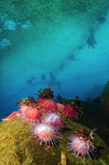 Spawning sea urchins. This urchin Sterechinus neumayeri is a broadcast spawner liberating its seed into the water column. The solid ice roof, through which we dive, can be seen overhead with brinicles forming on a tide-crack. Credit: Peter Marriott
