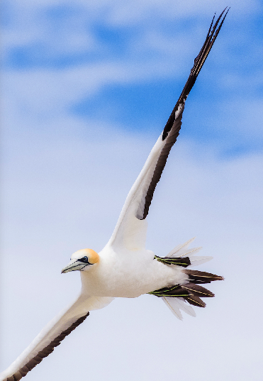 Gannet on the wing, Farewell Spit, changing direction prior to diving for fish. Credit: Rob Murdoch