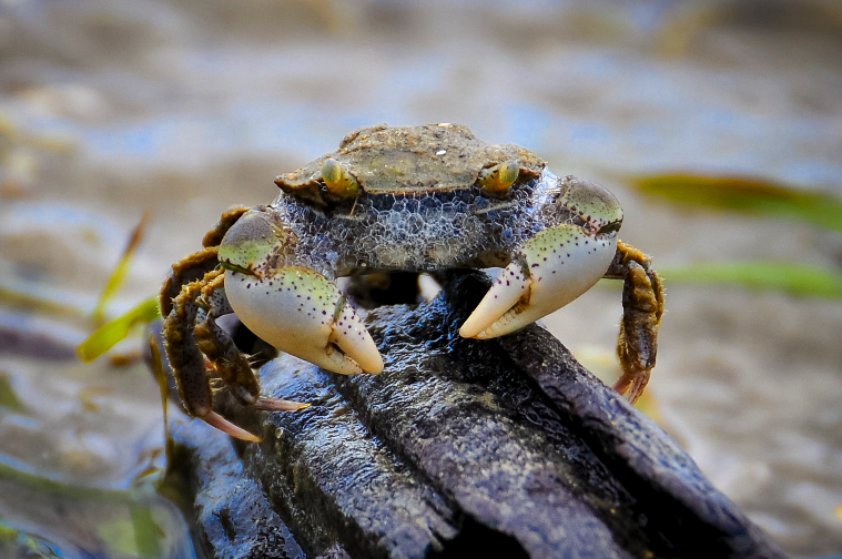 Mr Crab. Estuarine mud crab in Omokoroa harbour, Bay of Plenty. Credit: Tracey Burton