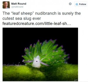 Sheep-leaf