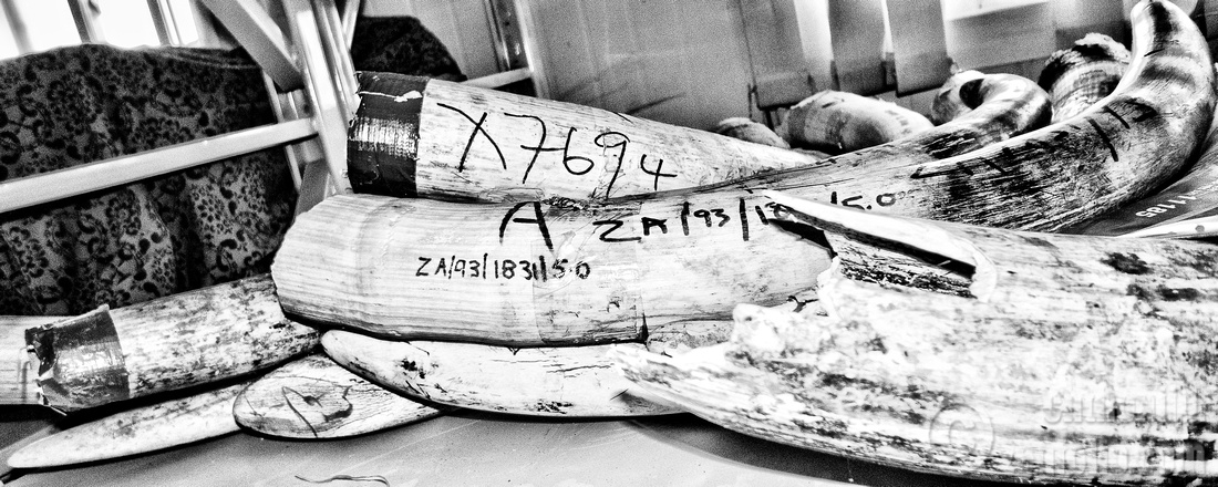 Featured image: Counting Ivory: Does it add up?