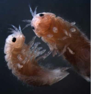 Featured image: shipworms, pillbugs and gribbles – oh my!