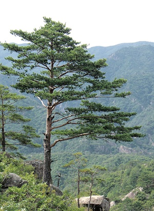 'Japanese' red pine, from the North/South Korean border zone. Author: yeowatzup at Flickr; source: Wikimedia.
