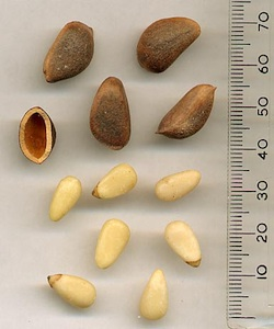 Korean pine seeds. The edible seeds are Korean pine nuts. Source Wikipedia. Attribution: GFDL