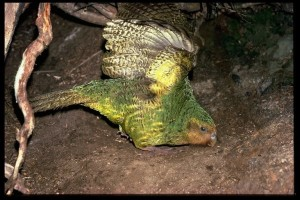 Featured image: Kakapo fans excited for mating season