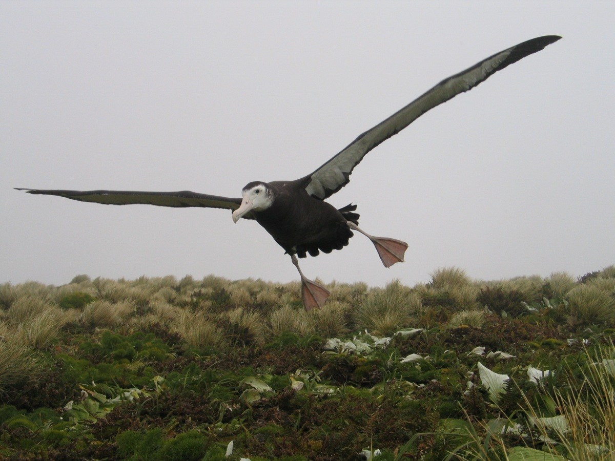 Featured image: Antipodean wandering albatross continues to dive