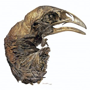 A sketch of the mummified moa skull.