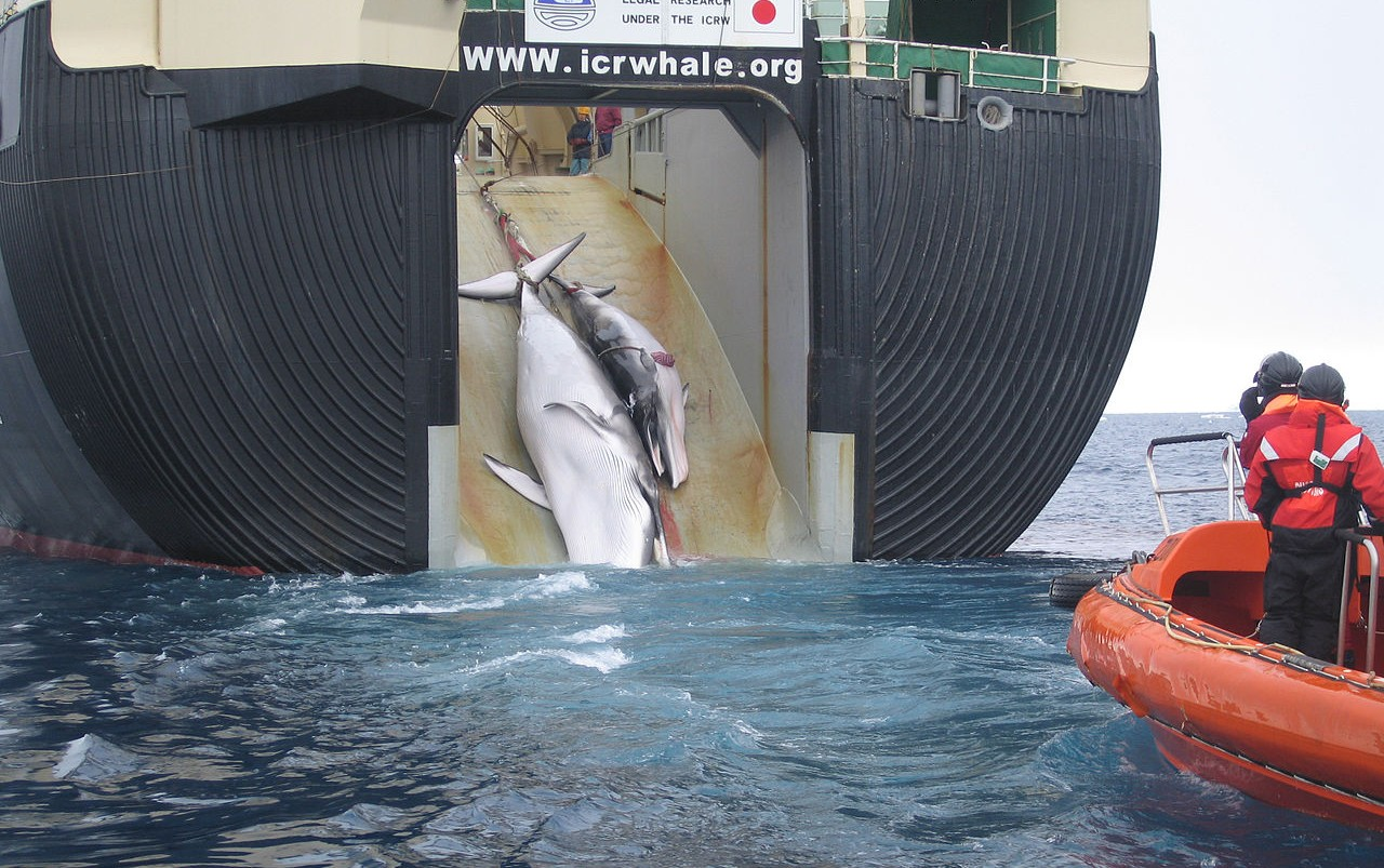 Featured image: Calls for tighter reins on Japanese whaling