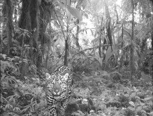 "Volcan Barva, Costa Rica. Panthera onca (Jaguar) - largest cat in the western hemisphere and a near threatened species. This image is one of nearly 52,000 photos of 105 mammal species, taken as part of the first global camera trap mammal study done by The Tropical Ecology Assessment and Monitoring Network (TEAM) To learn more visit: http://www.conservation.org Courtesy of Organization for Tropical Studies, a member of the TEAM network - www.teamnetwork.org PERMITTED USE: This image may be downloaded at no charge for one-time use for the first ""Global Camera Trap Mammal"" study. No copying, distribution or archiving permitted. No sublicensing, sale or resale permitted. REQUIRED CREDIT AND CAPTION: All image uses must be properly credited to Organization for Tropical Studies as part of the TEAM Network Partnership/www.teamnetwork.org. All images must be accompanied by a caption, which makes reference to the first ""Global Camera Trap Mammal"" study. Any uses in which the image appears without proper credit and caption referencing the ""First Global Camera Trap Mammal Study"" are subject to a separate written use agreement."