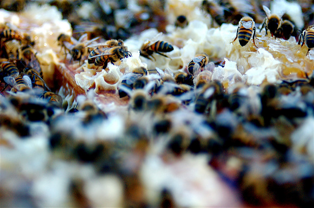 Featured image: Queen bees put their workers on &#8216&#x3B;the pill&#8217&#x3B; to stop them reproducing