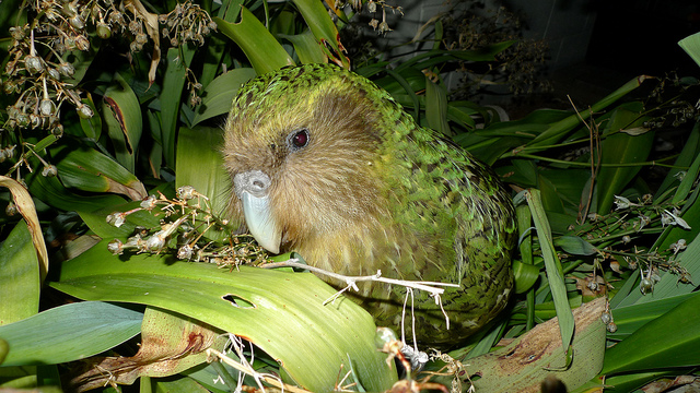 Featured image: Kakapo researchers turn to crowdfunding