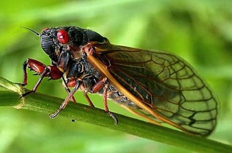 Featured image: Singing cicadas