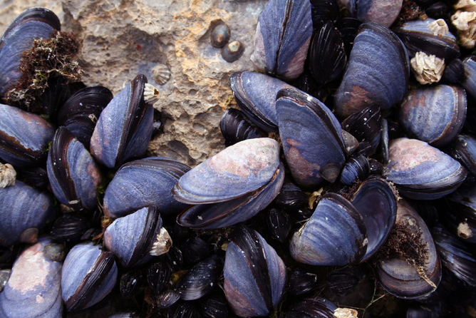 Image: Mussel power: how ocean acidification is changing shells