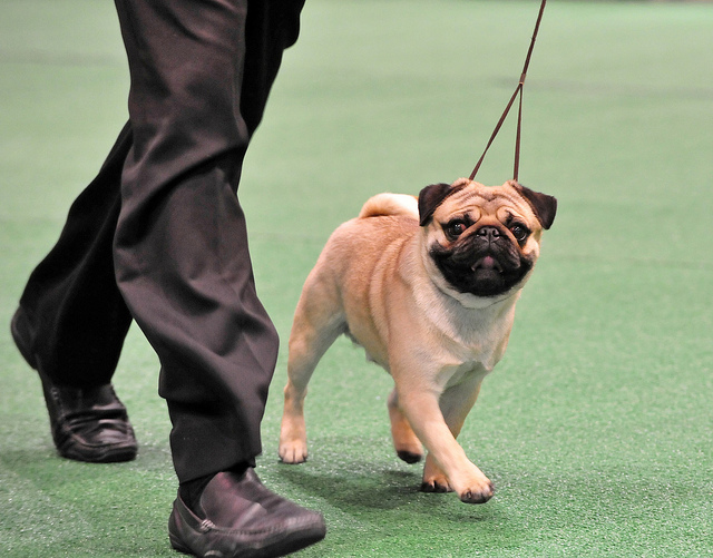 Featured image: How serious is inbreeding in show dogs?