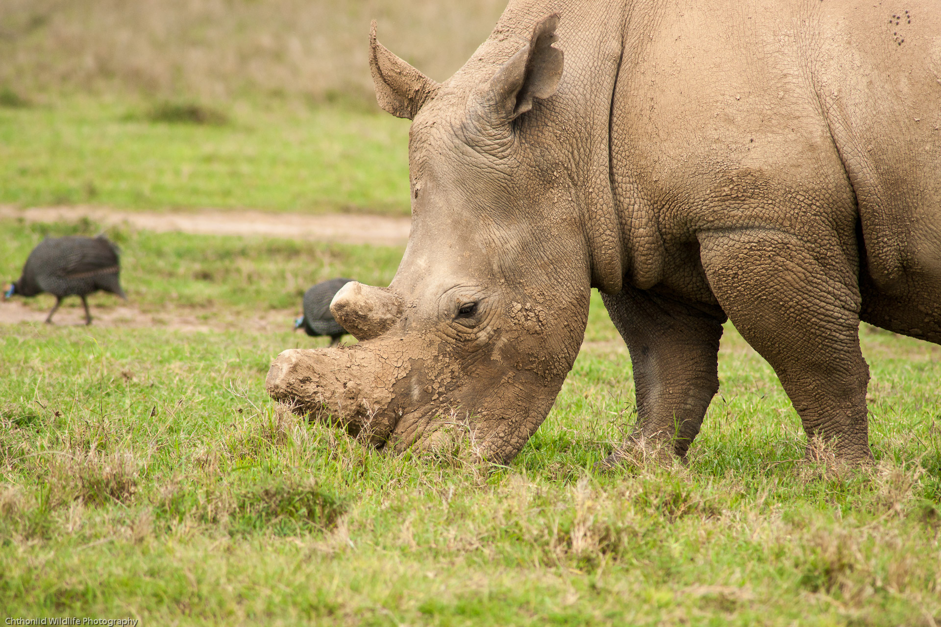 Featured image: Let's not panic: Rhino horn for sale in NZ is not a catastrophe