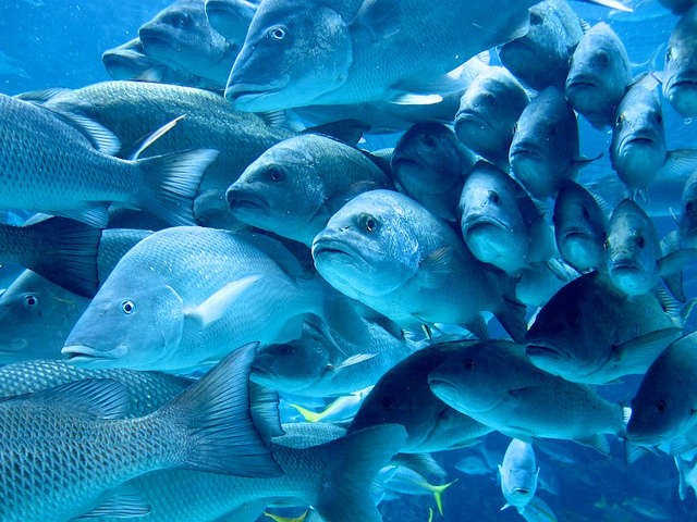 Featured image: Listen up: many farmed fish are hard of hearing – here's why it matters