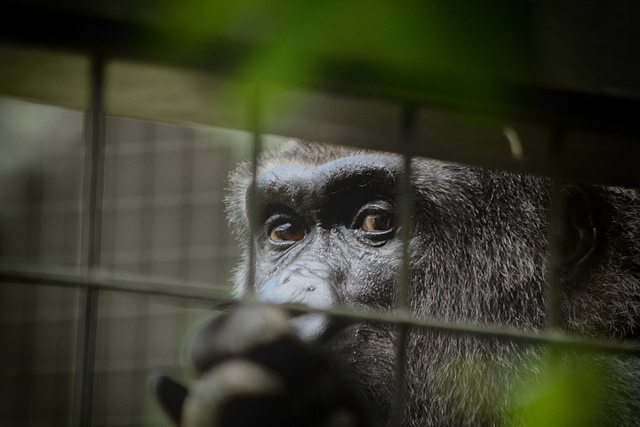 Featured image: Gorillas in zoos – the unpalatable truth