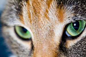 Feral cats will be targets under the new predator-free initiative. Flickr / Alex D