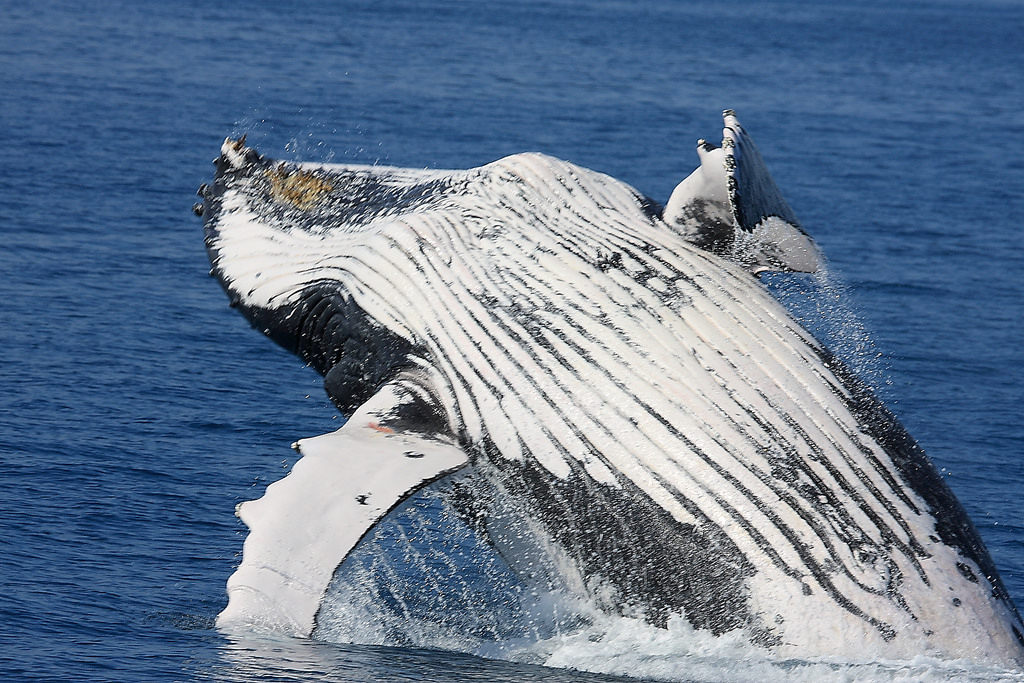 Featured image: Whale of a problem: why do humpbacks protect other species?