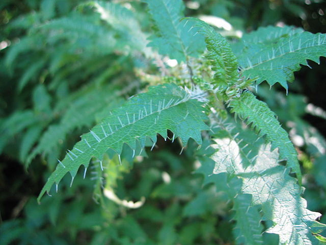 Ongaonga (Urtica ferox) is a New Zealand tree nettle and a possible source of new medicines. Skin contact with the hairs is very painful.