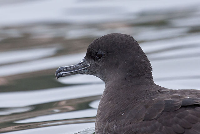 The sooty shearwater: an early victim of climate change? Credit: Wikimedia / marlin harms.