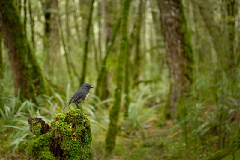 One of Helen's study species, the South Island Robin (Photo by Craig McKenzie)