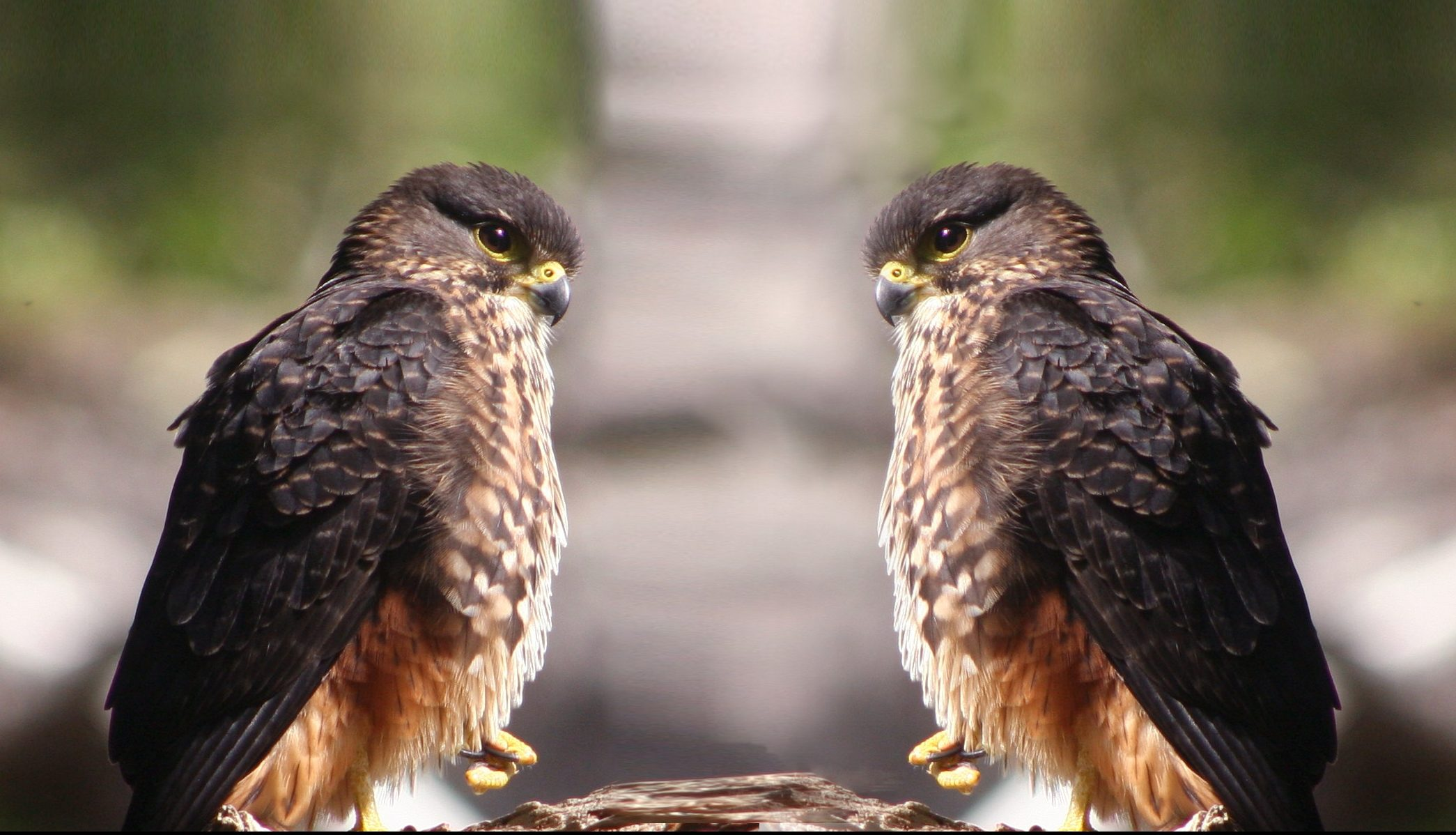 Featured image: NZ native falcon is actually two types of bird