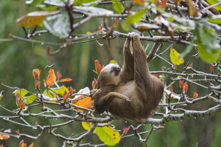 Sloths. Plenty of time to hang around for this little sloth. Suzi Eszterhas, www.suzieszterhas.com, Author provided