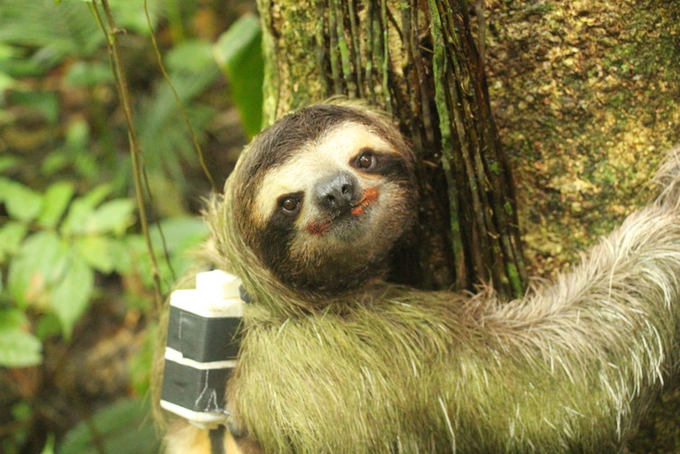A sloth sports its backpack tracker. Author provided.