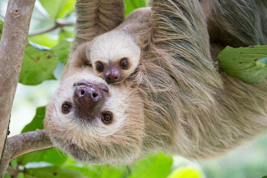 Image: Sloths aren't lazy – their slowness is a survival skill