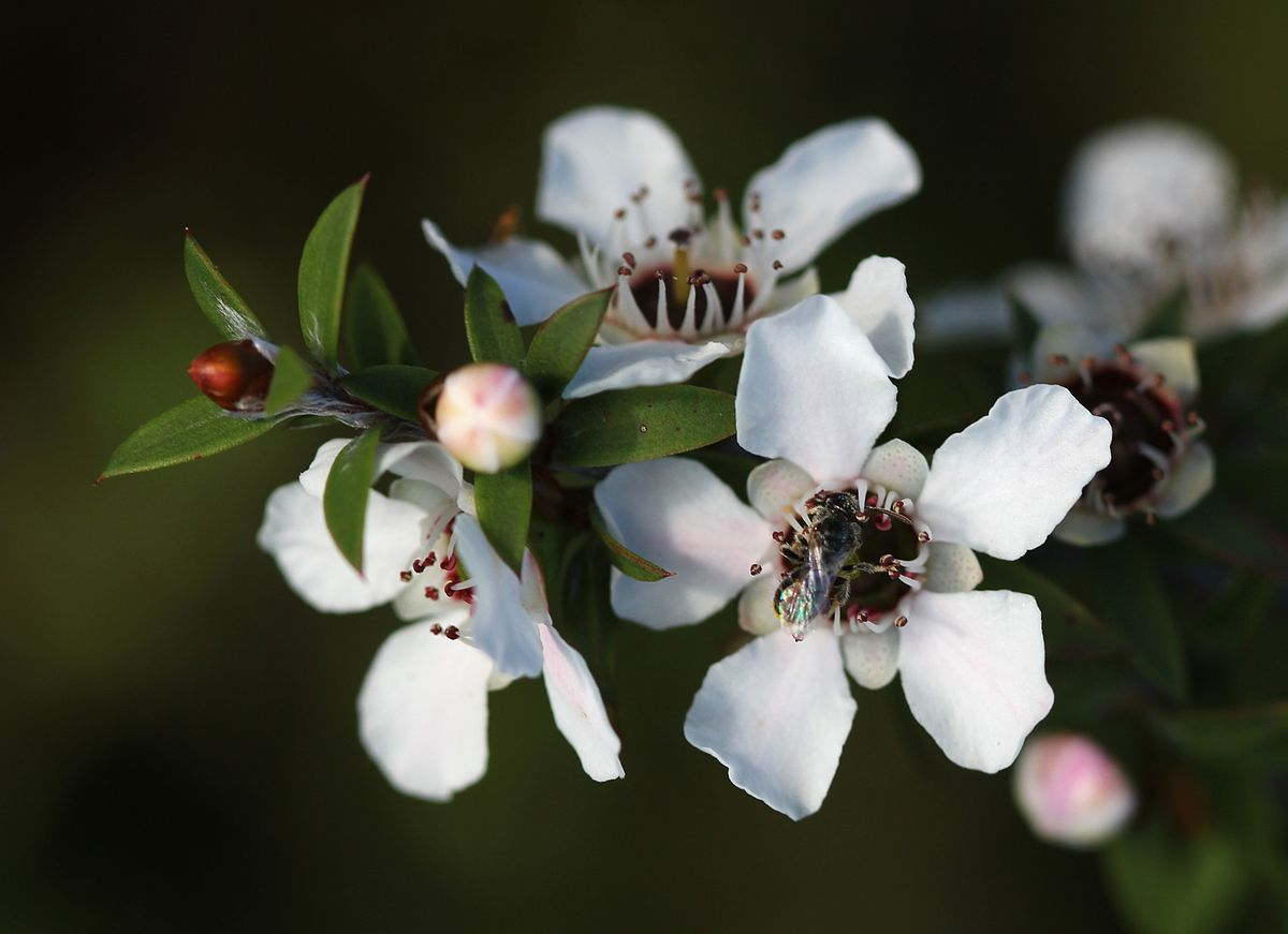 Featured image: Manuka honey may help prevent life-threatening urinary infections