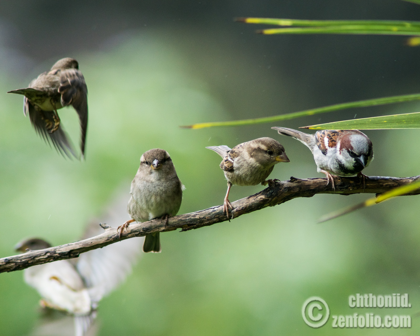 Featured image: Weekend sparrow antics