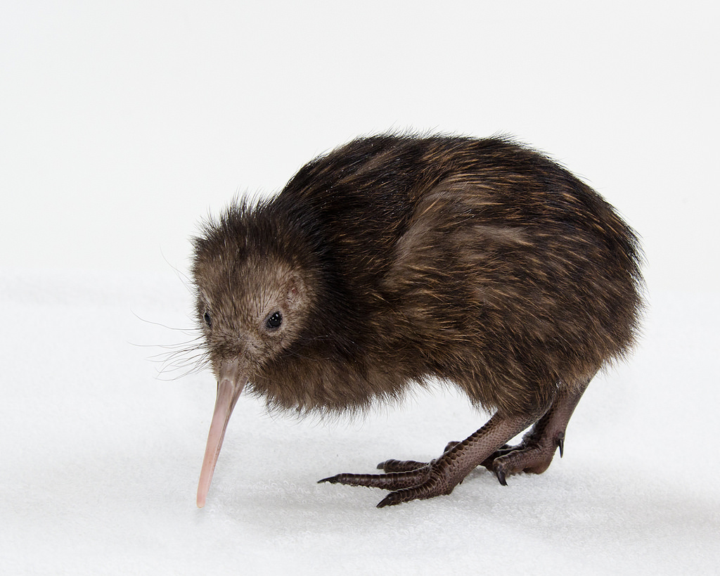 Image: Ice ages led to 'explosive' diversity in Kiwi species
