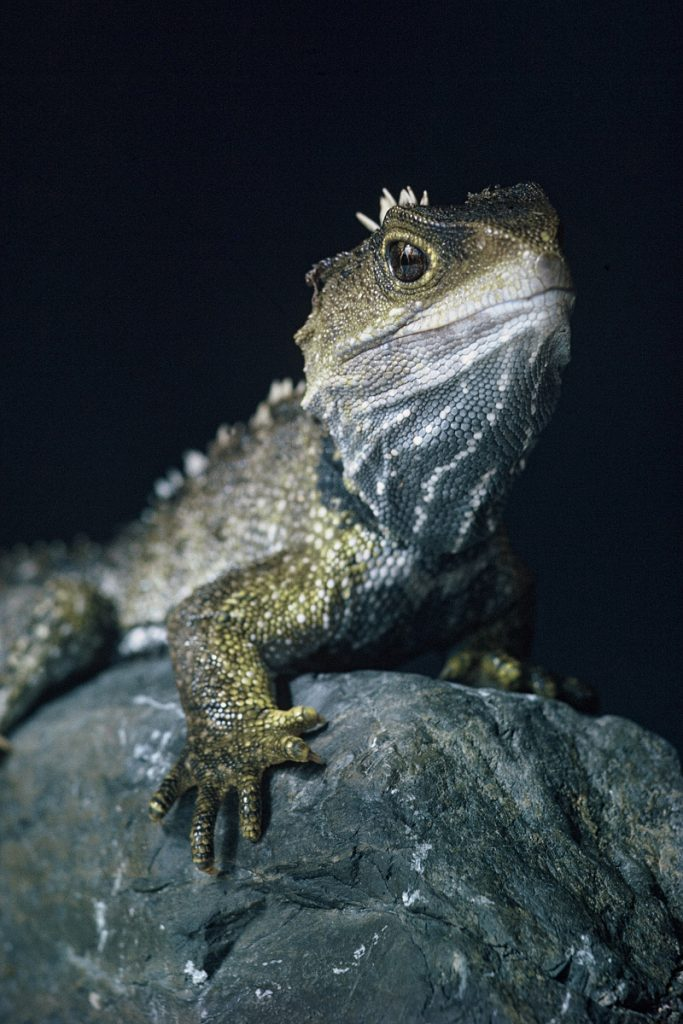 Biologists need more data to improve forecasts for climate-sensitive species such as the tuatara.