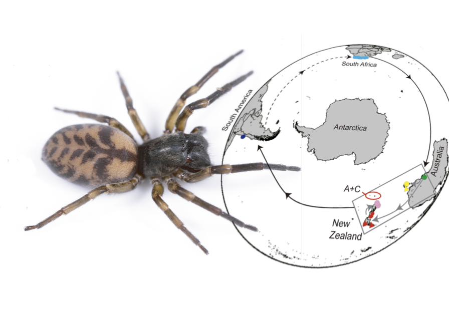 Featured image: Swashbuckling NZ spider's eight million year world tour