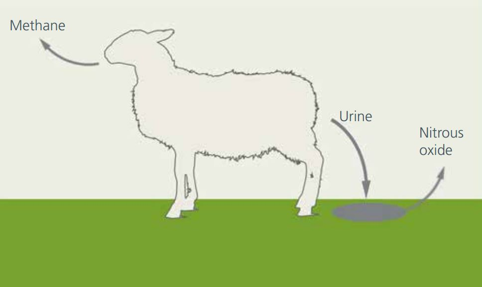 """ Contrary to popular belief, almost all of the methane comes out of the front end, not the back end, of ruminant animals."" This diagram from the PCE report succinctly summarises the situation."