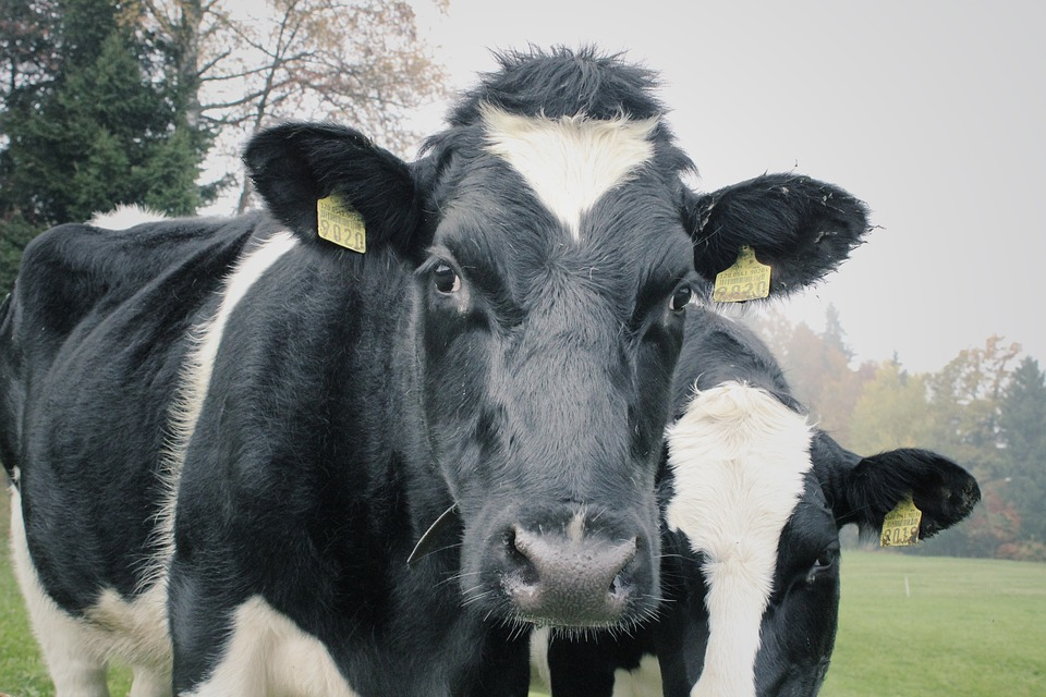 Featured image: Seaweed could hold the key to cutting methane emissions from cow burps