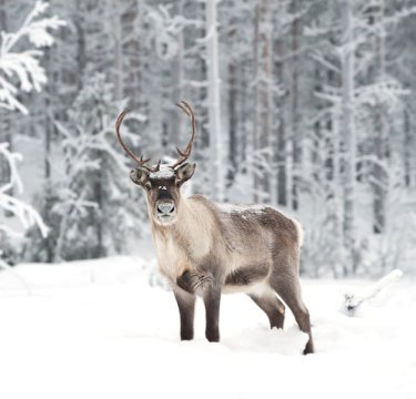 Reindeer are shrinking. Warmer winters mean more rain. The rain falls on snow, where it freezes, thus locking-out the reindeer from the food beneath the snow. As a result, the reindeer starve, aborting their calves or giving birth to much lighter young. Credit: Andreas Gradin.