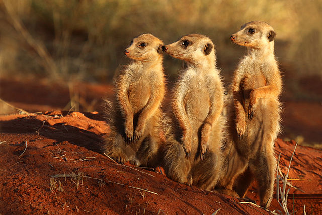 Featured image: Weird Science: Beware the meerkat – cuddly critters the world's most murderous mammals