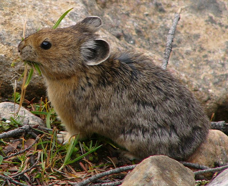 The Pika has undergone several local extinctions