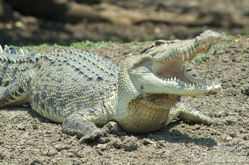 Featured image: Crocodilians have long been good mothers